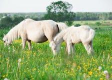 Litet föl av den welsh ponnyn med mamman i grässlätten Arkivfoto