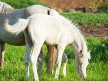 Litet föl av den welsh ponnyn med mamman i grässlätten Royaltyfria Bilder
