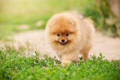 Litet gå för Pomeranian valp Royaltyfri Foto