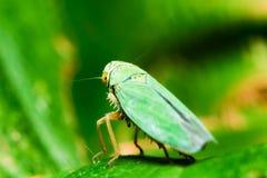 Litet gräshoppaslut upp Fotografering för Bildbyråer