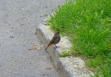 Litet grått fågelanseende bredvid en kerb Arkivfoton
