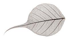 Litet grått genomskinligt torkat stupat blad Arkivfoto