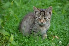 Litet grått kattsammanträde på en gräsmatta royaltyfria foton
