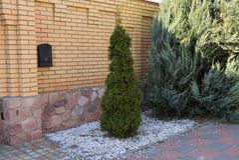 Litet grönt barrträds- dekorativt träd på trottoaren på den bruna tegelstenväggen royaltyfri fotografi