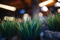 Litet grönt dekorativt växa för buske dekorativa små buskar royaltyfria bilder
