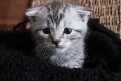 Litet Gray Scottish Fold kattungefotografi royaltyfri fotografi