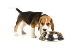 Litet gulligt äta för hund Royaltyfria Bilder