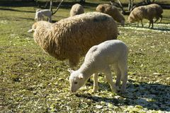 Litet gulligt lamm arkivfoton