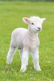 Litet gulligt lamm som gambolling i en äng i en lantgård arkivfoto