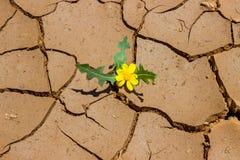 Litet gult växa för blomma från sprickorna i jordningen te Arkivbild