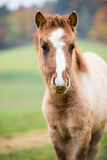 Litet hästföl Arkivfoton