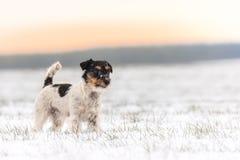 Litet hundanseende i vintern i en vit äng - stålarrussell terrier arkivfoto