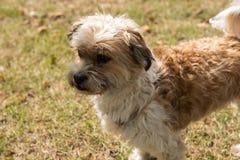 Litet hundanseende på gräs och se koncentrerat fotografering för bildbyråer