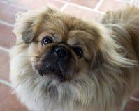 litet hundformat Royaltyfri Bild