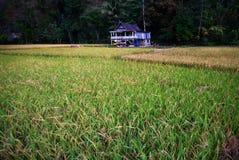 Litet hus i risfältfält Royaltyfri Foto