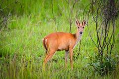 Litet kärt anseende på grässlättarna av den thailändska nationalparken royaltyfri foto