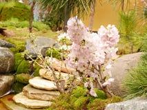 Litet körsbärsrött träd med rosa körsbärsröda blomningar för full blom royaltyfria bilder