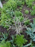 Litet kantjusterat kalt träd på en stadsblomsterrabatt bland gröna växter Royaltyfria Foton