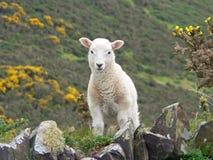 Litet keligt lamm, bygd södra England arkivfoton