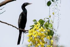 Litet kormorananseende på en filial Royaltyfria Bilder