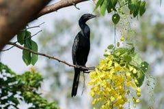 Litet kormorananseende på en filial med gula blommor Royaltyfri Fotografi
