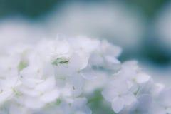 Litet kryp på en vit blomma av en vanlig hortensia arkivbilder