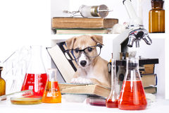 Litet laboratorium för valp Arkivbilder