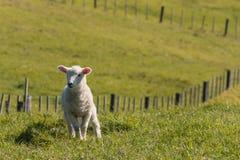 Litet lamm i paddock Royaltyfri Foto