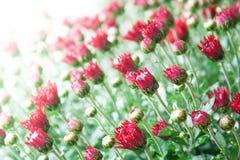 Litet mörkt - röda krysantemumknoppar på vit bakgrund i milt ljus fotografering för bildbyråer