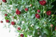Litet mörkt - röda krysantemumknoppar på vit bakgrund i milt ljus royaltyfria foton