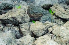Litet mangroveträd Royaltyfria Foton