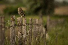 Litet Owl Athene noctuasammanträde på ett staket royaltyfria foton