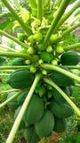 Litet papayaträd Arkivfoton