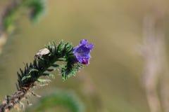 Litet purpurfärgat växa för lös blomma på fält nära monteringen söndag, Nya Zeeland royaltyfria foton