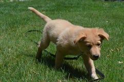 Litet rött Duck Puppy Dog Walking Through gräs Arkivfoton