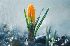 Litet regn för blommakrokus på våren arkivbilder