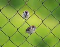 Litet roligt sparvsammanträde för fågel två på ett metallstaket som förtjänar su Arkivbilder