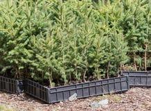 Litet sörja träd som väntar för att planteras i en skog Arkivfoto