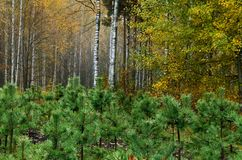 Litet sörja träd växer i parkera Arkivfoton