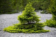 Litet sörja trädet och kalksten gravel.JH Arkivbilder