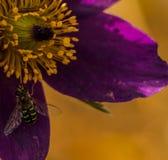 Litet samla hoverfly pollen Fotografering för Bildbyråer
