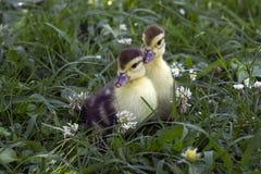 Litet sammanträde för ankunge två i det högväxta gröna gräset på lantgården Royaltyfri Foto