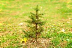 Litet sörja trädet bara i fält Arkivbild
