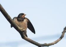 Litet svalasammanträde för fågel på en filial på bakgrund för blå himmel Fotografering för Bildbyråer
