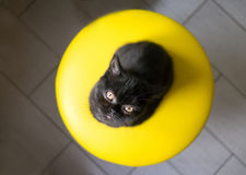 Litet svart brittiskt kattungesammanträde på stolen arkivfoto