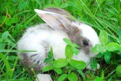 Litet svartvitt kaninsammanträde på gräset. Royaltyfri Bild