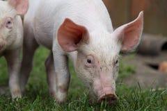Litet svin som betar på en lantgård med andra svin i solig dag Arkivbild