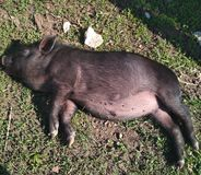 Litet svin som värma sig i solen arkivfoto
