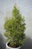 Litet Tamariskträd Royaltyfri Bild