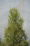Litet Tamariskträd Arkivbild